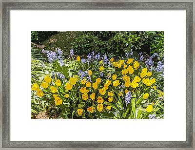 Tulips And Bluebells Framed Print by Gary Cowling