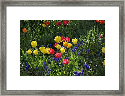 Tulips And Grape Hyacinths Framed Print