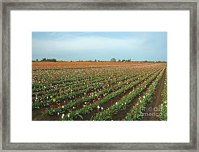 Tulips As Far As The Eye Can See Framed Print