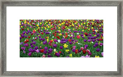 Tulips At Wooden Shoe Tulip Farm Framed Print