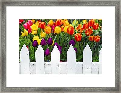 Tulips Behind White Fence Framed Print by Elena Elisseeva