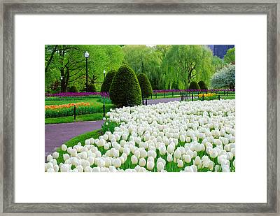 Tulips Boston Public Gardens  Framed Print by Michael Hubley