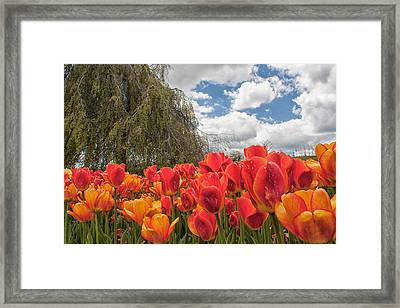 Tulips Framed Print by Brian Caldwell