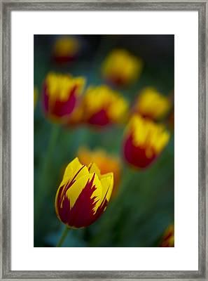 Tulips Framed Print by Chevy Fleet