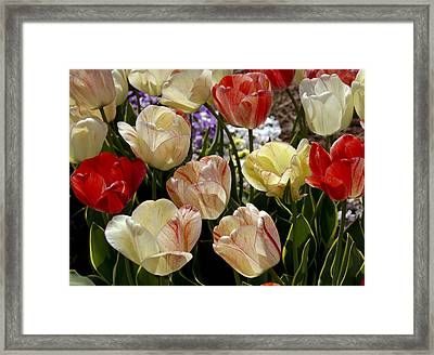 Framed Print featuring the photograph Tulips by Debra Crank