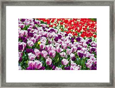 Tulips Field Framed Print by Sebastian Musial