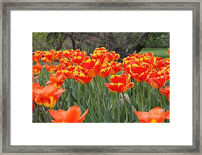 Framed Print featuring the photograph Tulips From Brooklyn by John Telfer