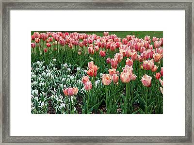 Tulips Galore  Framed Print by Suzanne Gaff