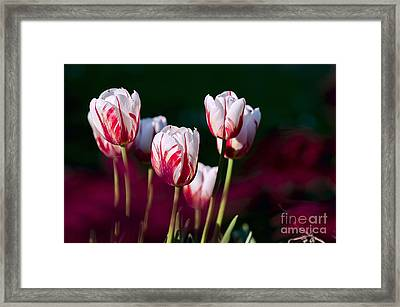 Tulips Garden Flowers Color Spring Nature Framed Print by Paul Fearn