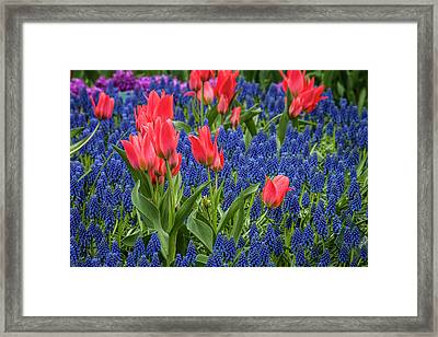 Tulips Growing Amidst Clusters Of Grape Framed Print by Sheila Haddad