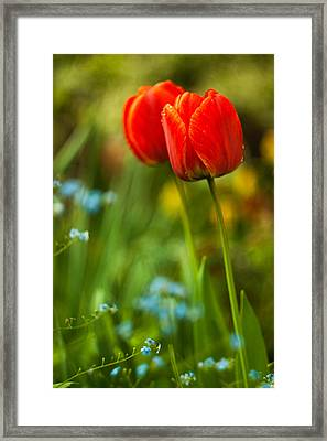 Tulips In Garden Framed Print