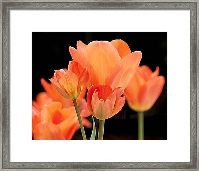Tulips In Shades Of Orange Framed Print by Rona Black
