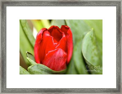 Tulips In Study 4 Framed Print by Cathy Dee Janes
