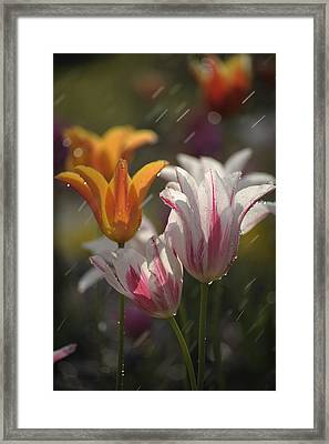 Framed Print featuring the photograph Tulips In The Rain by Phyllis Peterson