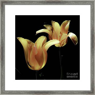 Tulips In Vaerebro Framed Print by Michael Canning