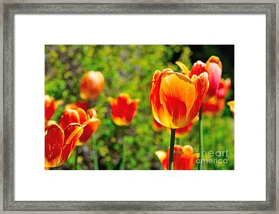 Framed Print featuring the photograph Tulips by Joe  Ng
