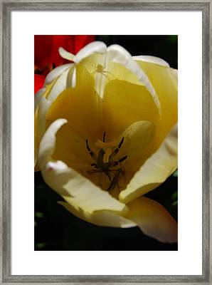 Framed Print featuring the photograph Tulip's Kiss by Jani Freimann