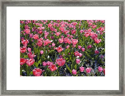 Tulips Framed Print by Matthias Hauser