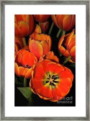 Tulips Of Fire Framed Print by Kaye Menner