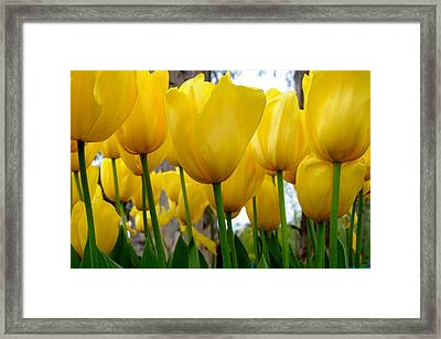 Tulips Of Gold Framed Print by Sally Nevin