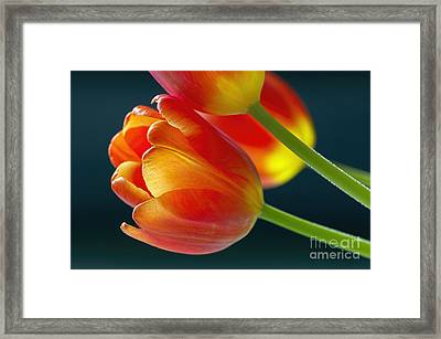 Tulips On Black 2a Framed Print by Sharon Talson