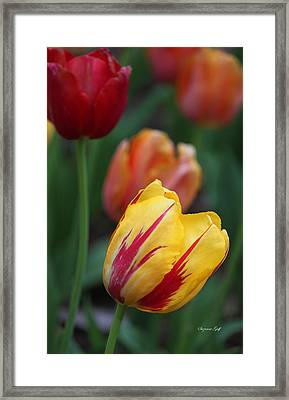 Tulips On Fire II Framed Print by Suzanne Gaff