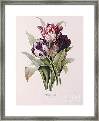 Tulips Framed Print by Pierre Joseph Redoute