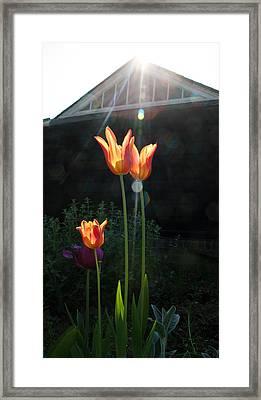 Tulips Framed Print by Stephen Norris