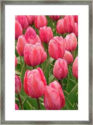 Tulips (tulipa 'design Impression') Framed Print by Adrian Thomas/science Photo Library