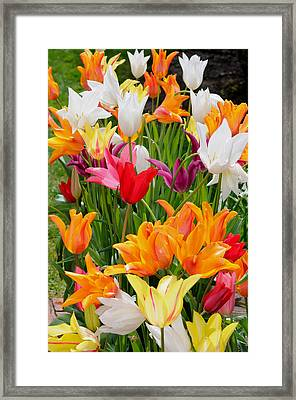 Framed Print featuring the photograph Tulips Tulips by Haleh Mahbod