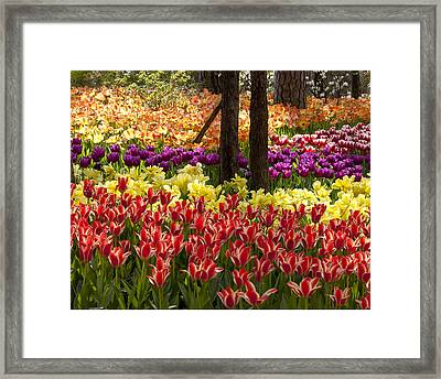 Framed Print featuring the photograph Tulips Tulips Tulips by Robert Camp