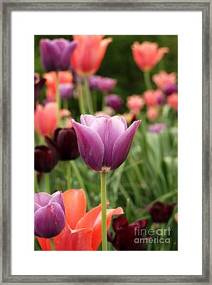 Tulips Welcome Spring Framed Print by Eva Kaufman