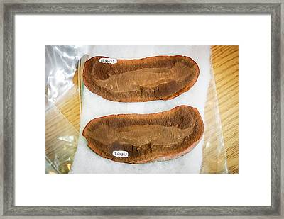 Tully Monster Fossils Framed Print by Us Department Of Energy