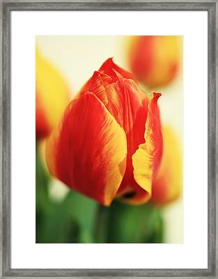 Tulpen Framed Print by Falko Follert