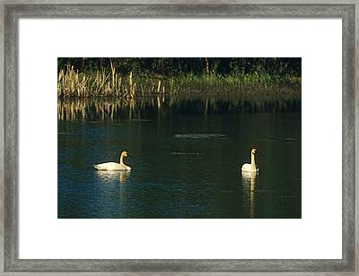 Tundra Swans Along Parks Hwy Near Framed Print by Harry M. Walker