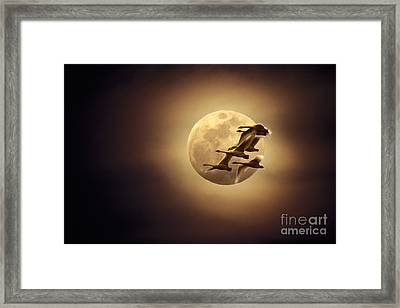 Tundra Swans And Moonglow Framed Print