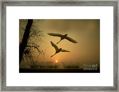 Tundra Swans In Flight Framed Print by Ron Sanford