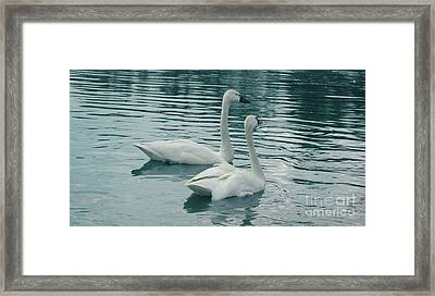Tundra Swans Framed Print by Kathleen Struckle