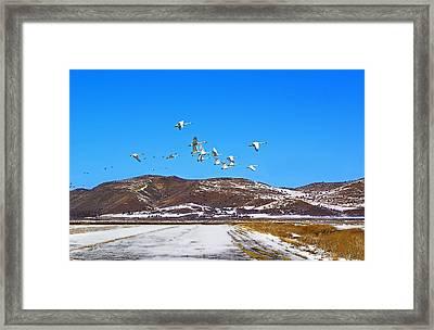 Tundra Swans Take Flight  Framed Print