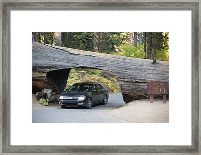Tunnel Log A Fallen Giant Redwood Framed Print by Ashley Cooper