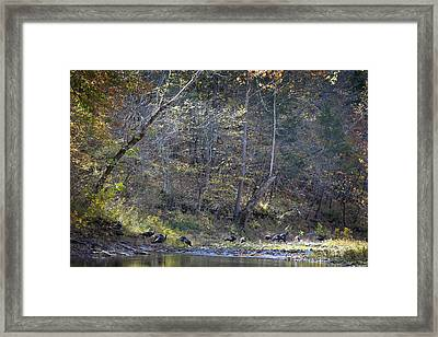 Turkey Crossing At Big Hollow Framed Print by Michael Dougherty