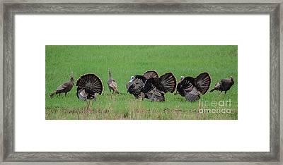 Turkey Mating Ritual Framed Print