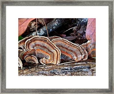 Turkey Tail Fungi In Autumn Framed Print