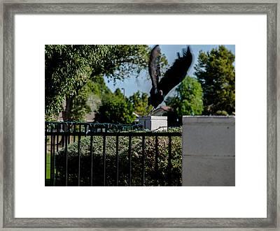 Turkey Vulture 5 Framed Print by Steve Knievel