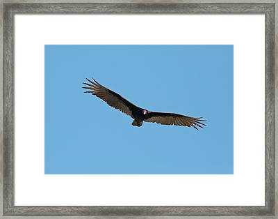 Turkey Vulture (cathartes Aura) In Flight Framed Print by Bob Gibbons