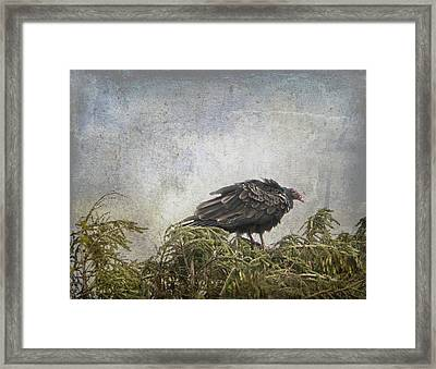Turkey Vulture Looking For Dinner Framed Print