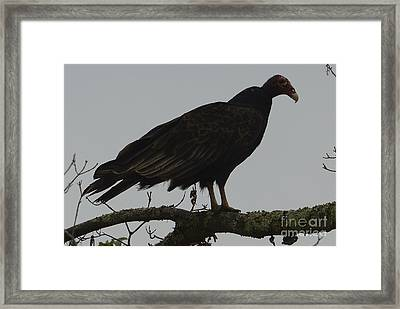 Turkey Vulture Framed Print by Randy Bodkins