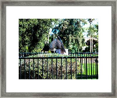 Turkey Vulture Framed Print by Steve Knievel