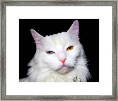 Framed Print featuring the photograph Turkish Angora by Aurelio Zucco