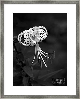 Turk's Cap Lily In Black And White Framed Print by Lee Craig